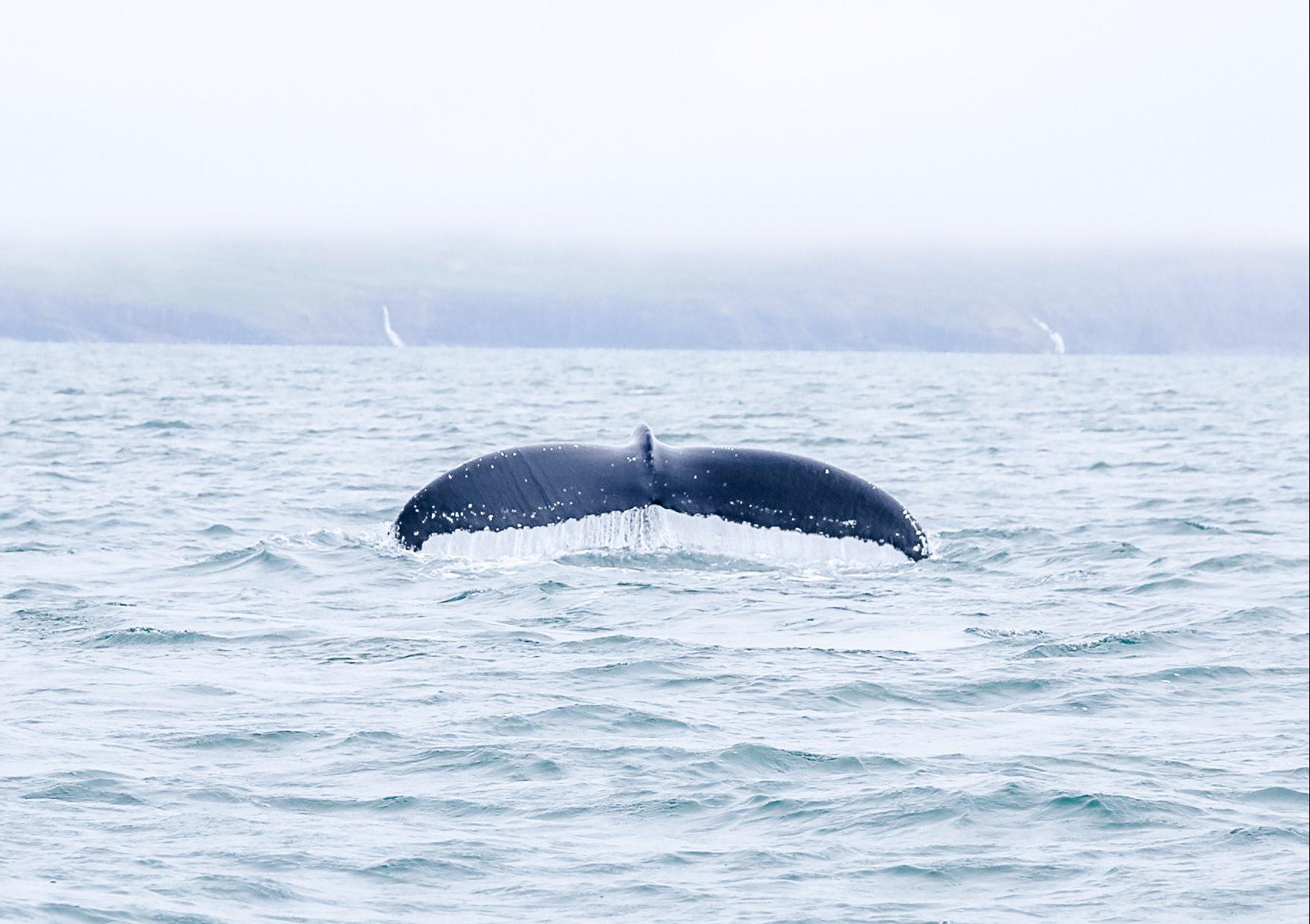 Whale Iceland Reisblondie